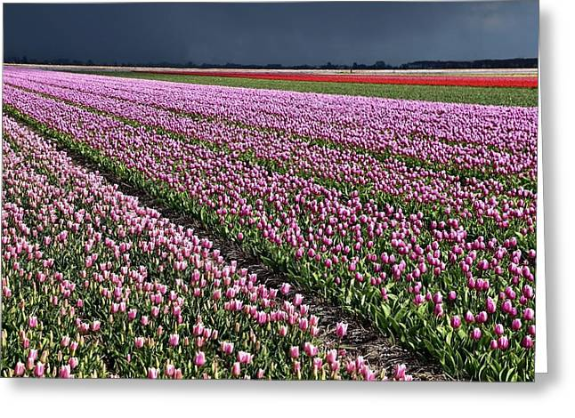 Half Side Purple Tulip Field Greeting Card by Mihaela Pater