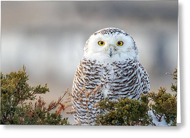 Hampton Beach Nh Snowy Owl Greeting Card