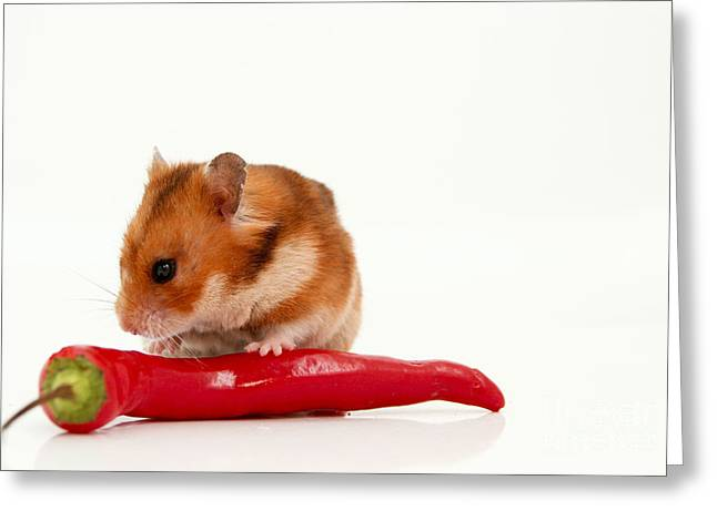 Hamster Eating A Red Hot Pepper Greeting Card by Yedidya yos mizrachi