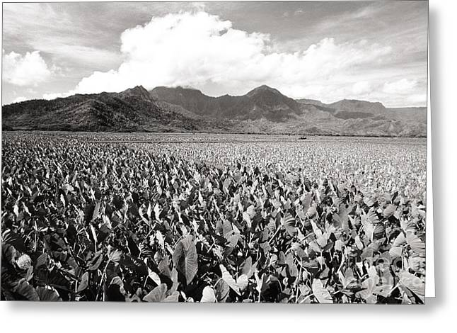 Hanalei Taro Fields Greeting Card by Bob Abraham - Printscapes