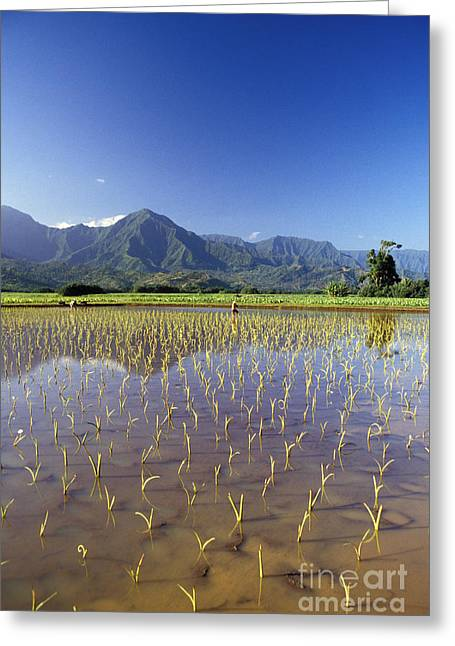 Hanalei Valley Taro Field Greeting Card by Peter French - Printscapes