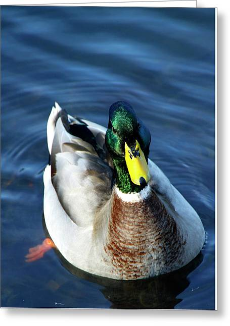 Handsome Male Mallard Greeting Card