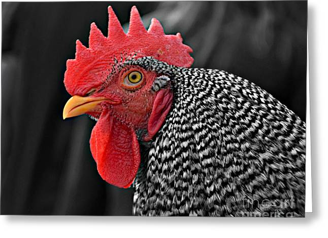 Handsome Plymouth Rock Rooster Greeting Card
