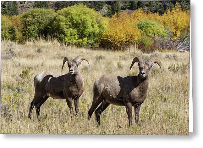 Handsome Rams Greeting Card by Kathleen Bishop