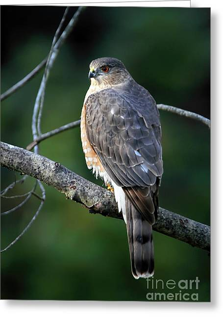 Handsome Sharp Shinned Hawk Greeting Card