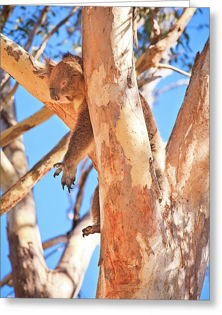 Hanging Around, Yanchep National Park Greeting Card