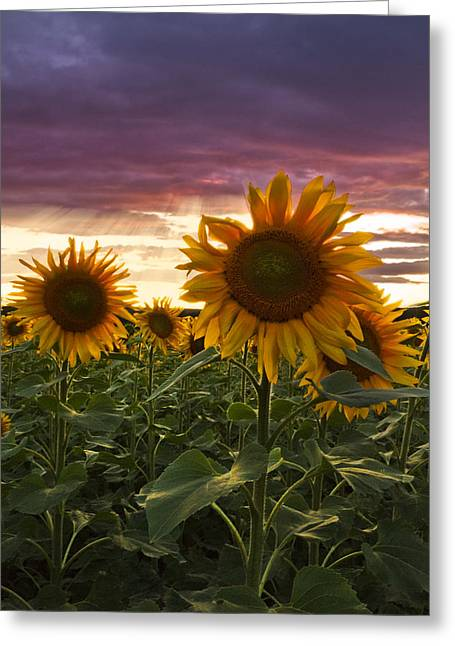 Happiness Is A Field Of Sunflowers Greeting Card by Debra and Dave Vanderlaan