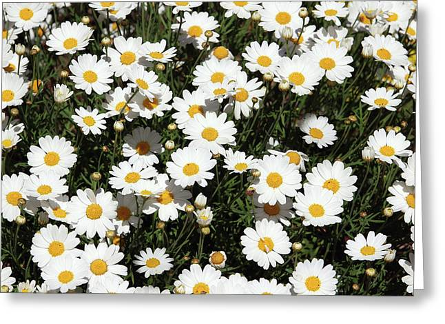 Happy Daisies- Photography By Linda Woods Greeting Card