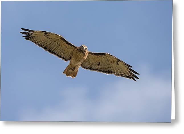 Happy Hawk Greeting Card by Loree Johnson
