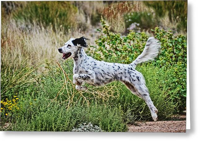 Happy Huntress, English Setter Greeting Card