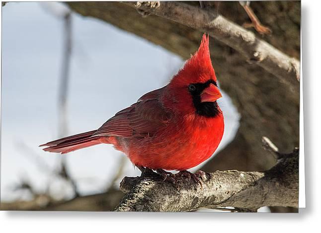 Happy Mister Cardinal Greeting Card