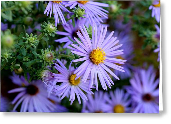 Hardy Blue Aster Flowers Greeting Card