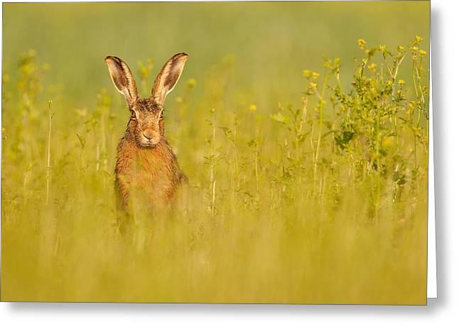 Hare In Mustard Crop Greeting Card