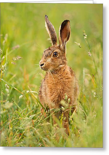 Hare In The Grass Greeting Card