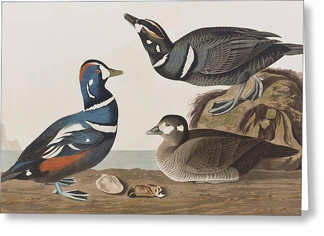 Harlequin Duck Greeting Card by John James Audubon