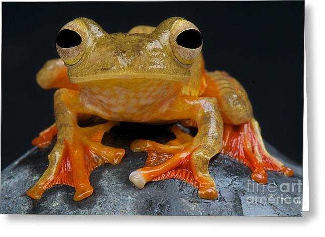 Harlequin Flying Frog Greeting Card by Reptiles4all