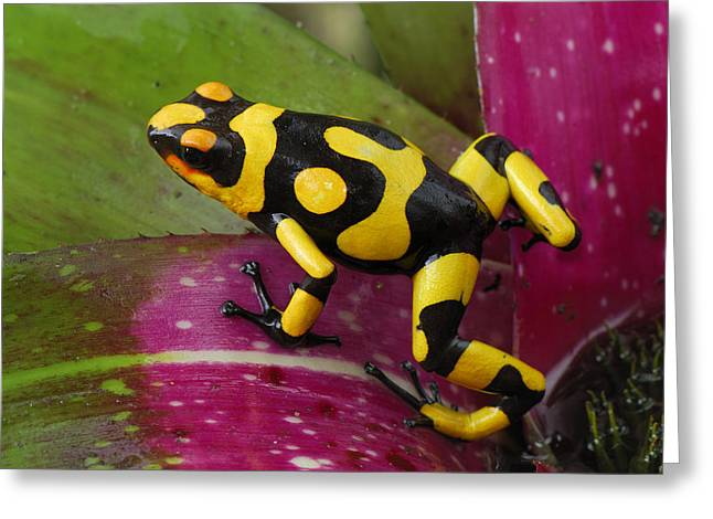 Harlequin Poison Dart Frog  Greeting Card by Thomas Marent