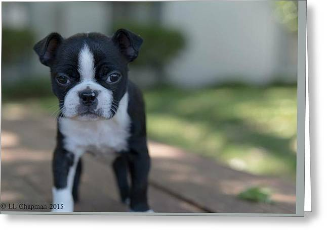Harley As A Puppy Greeting Card
