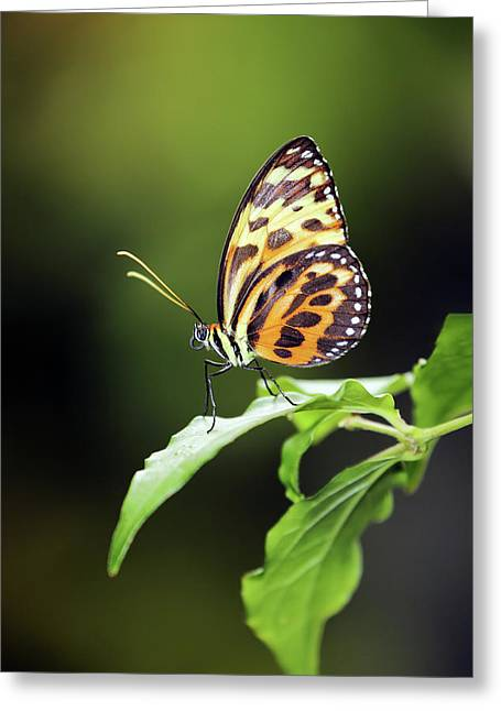 Harmonia Tiger Wing Greeting Card
