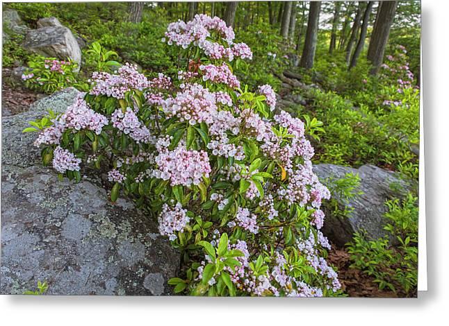 Harriman Pink And White Mountain Laurel Greeting Card