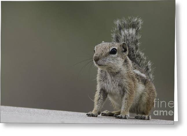 Harris Antelope Squirrel Greeting Card by Anne Rodkin