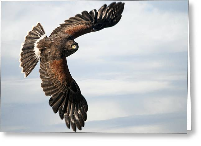 Harris Hawk 2 Greeting Card by Wade Aiken