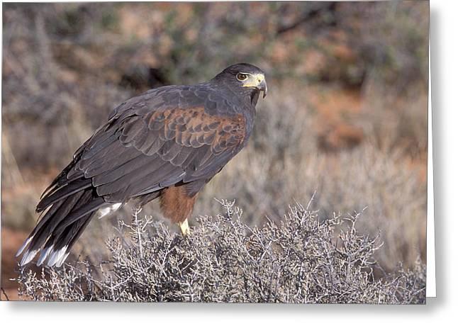 Southwest Wildlife Greeting Cards - Harris Hawk at Rest Greeting Card by Sandra Bronstein