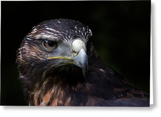 Greeting Card featuring the photograph Harris Hawk by Joerg Lingnau