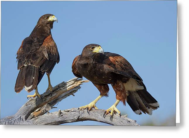 Greeting Card featuring the photograph Harris Hawks by Elvira Butler