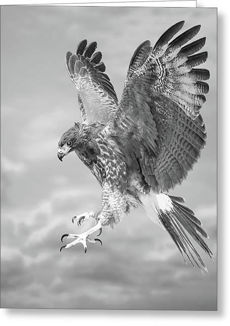 Harris's Hawk Greeting Card