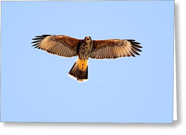 Greeting Card featuring the photograph Harris's Hawk H36 by Mark Myhaver
