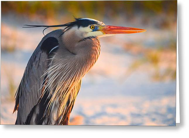 Harry The Heron With Plumage Close-up Greeting Card