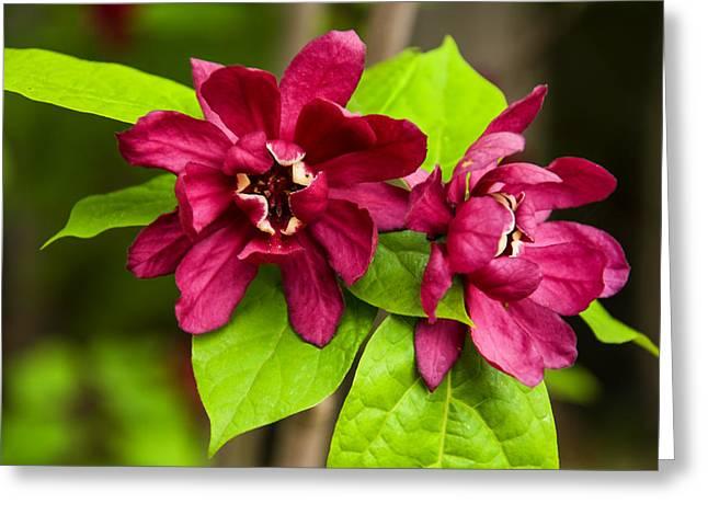 Hartlage Wine Sweetshrub Greeting Card by Chris Flees