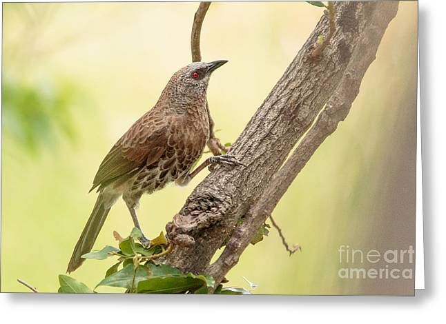 Hartlaub's Babbler - Craterope De Hartlaub - Turdoides Hartlaubii Greeting Card by Nature and Wildlife Photography