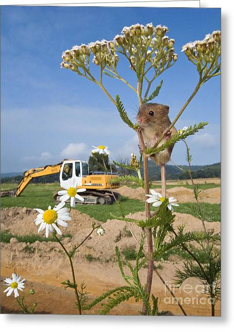 Harvest Mouse And Backhoe Greeting Card by Jean-Louis Klein & Marie-Luce Hubert