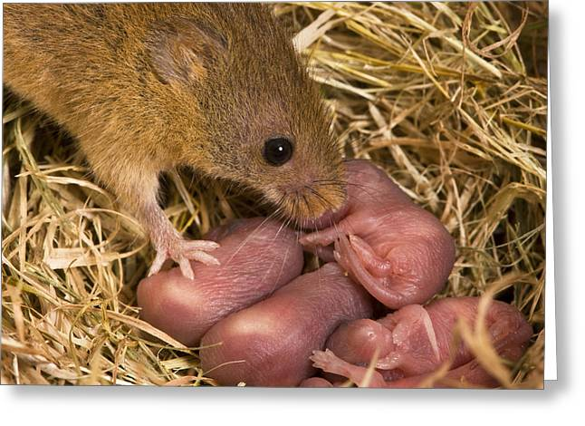 Harvest Mouse And Pups Greeting Card