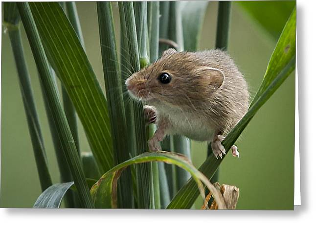 Harvest Mouse Close Up Greeting Card by Philip Pound
