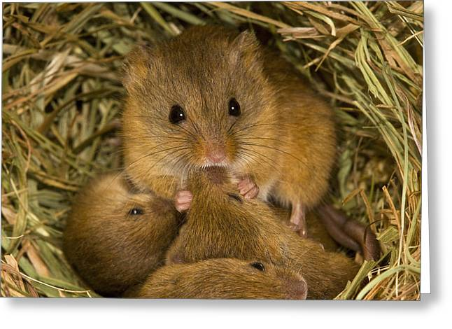 Harvest Mouse Feeding Pups Greeting Card by Jean-Louis Klein & Marie-Luce Hubert