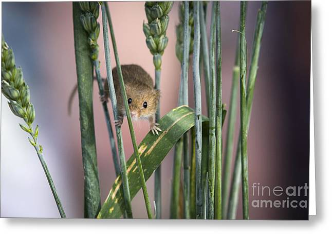 Harvest Mouse In Grass Greeting Card by Philip Pound