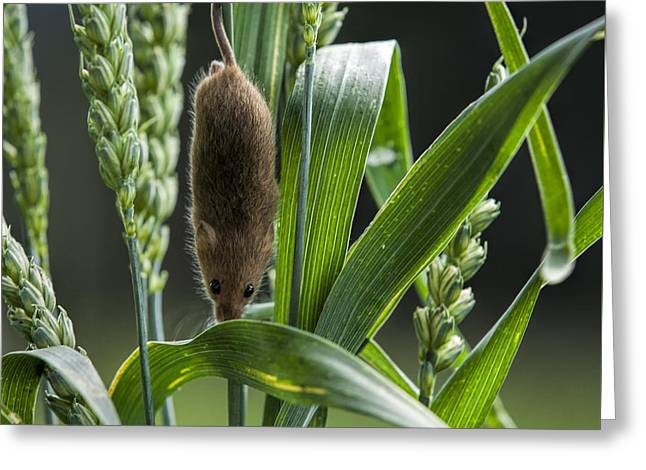 Harvest Mouse In The Grass Greeting Card by Philip Pound