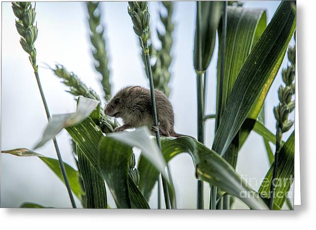 Harvest Mouse On Stalks Of Grass Greeting Card by Philip Pound