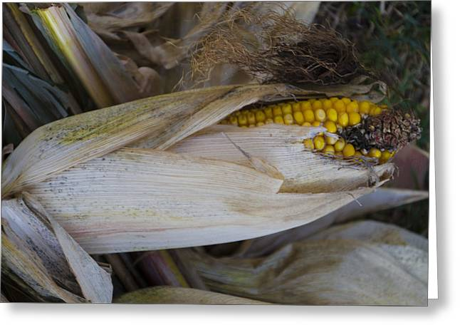 Harvest Time - Corn Greeting Card by Bill Cannon