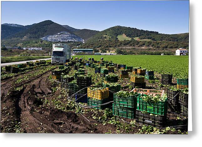 Harvesting Lettuce Near Ventas De Greeting Card by Panoramic Images