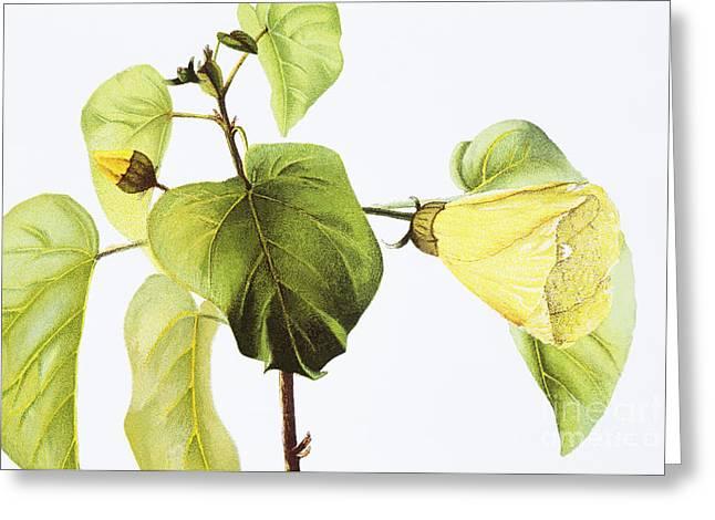 Hau Plant Art Greeting Card by Hawaiian Legacy Archive - Printscapes
