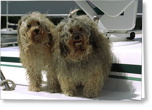 Greeting Card featuring the photograph Havanese Dogs by Sally Weigand