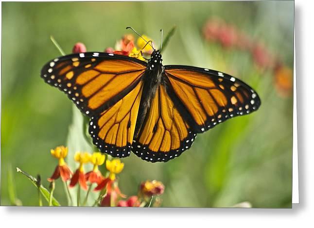 Hawaiian Monarch 3 Greeting Card by Michael Peychich
