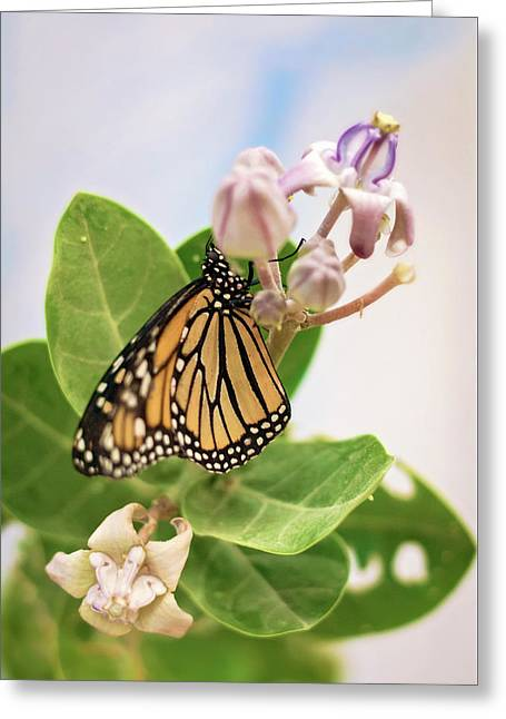 Hawaiian Monarch Greeting Card by Heather Applegate
