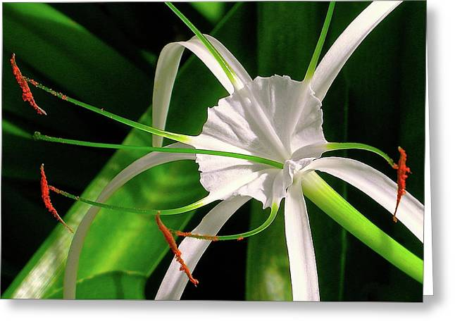 Perfumed Spider Lilly Greeting Card