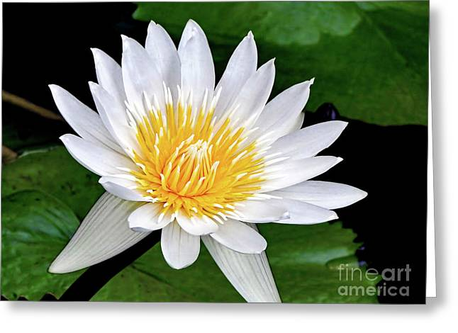 Hawaiian White Water Lily Greeting Card