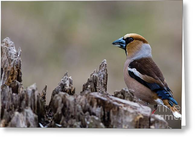 Hawfinch Perching Greeting Card by Torbjorn Swenelius